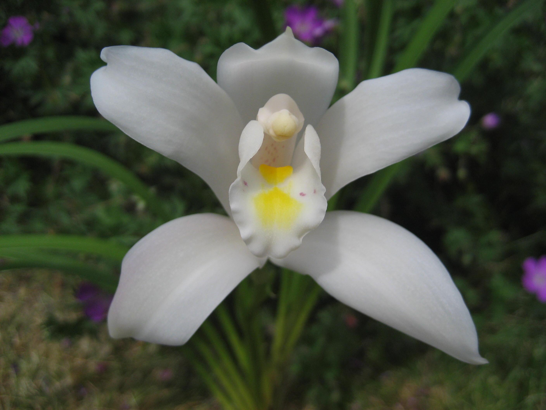 Cymbidium eburneum (c) Michel Giraud