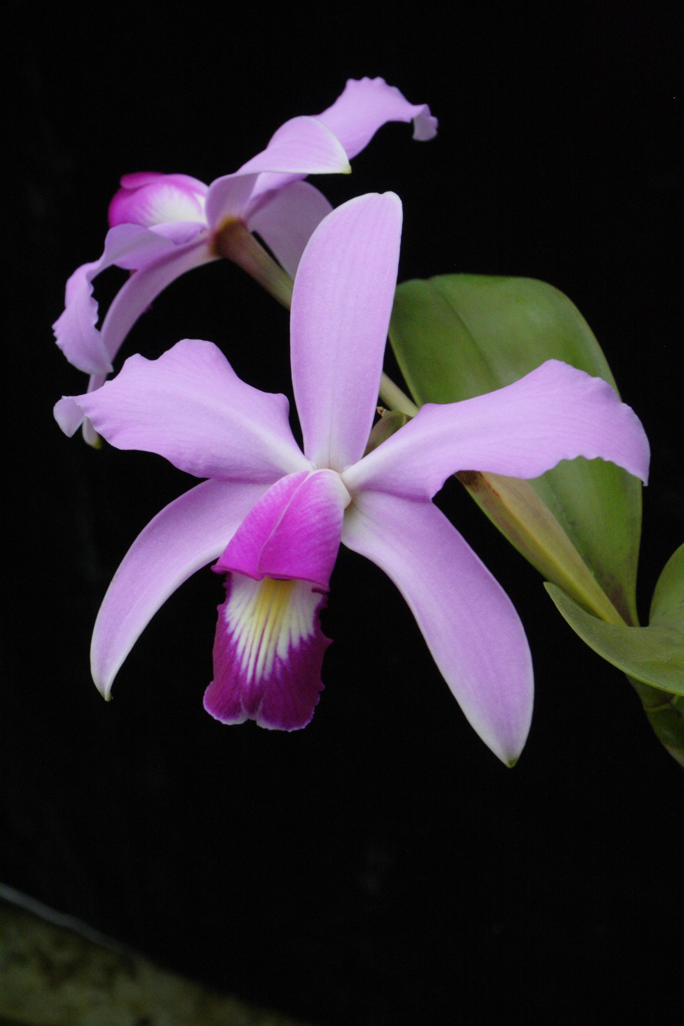 Cattleya violacea (c) J.-P. Le Pabic