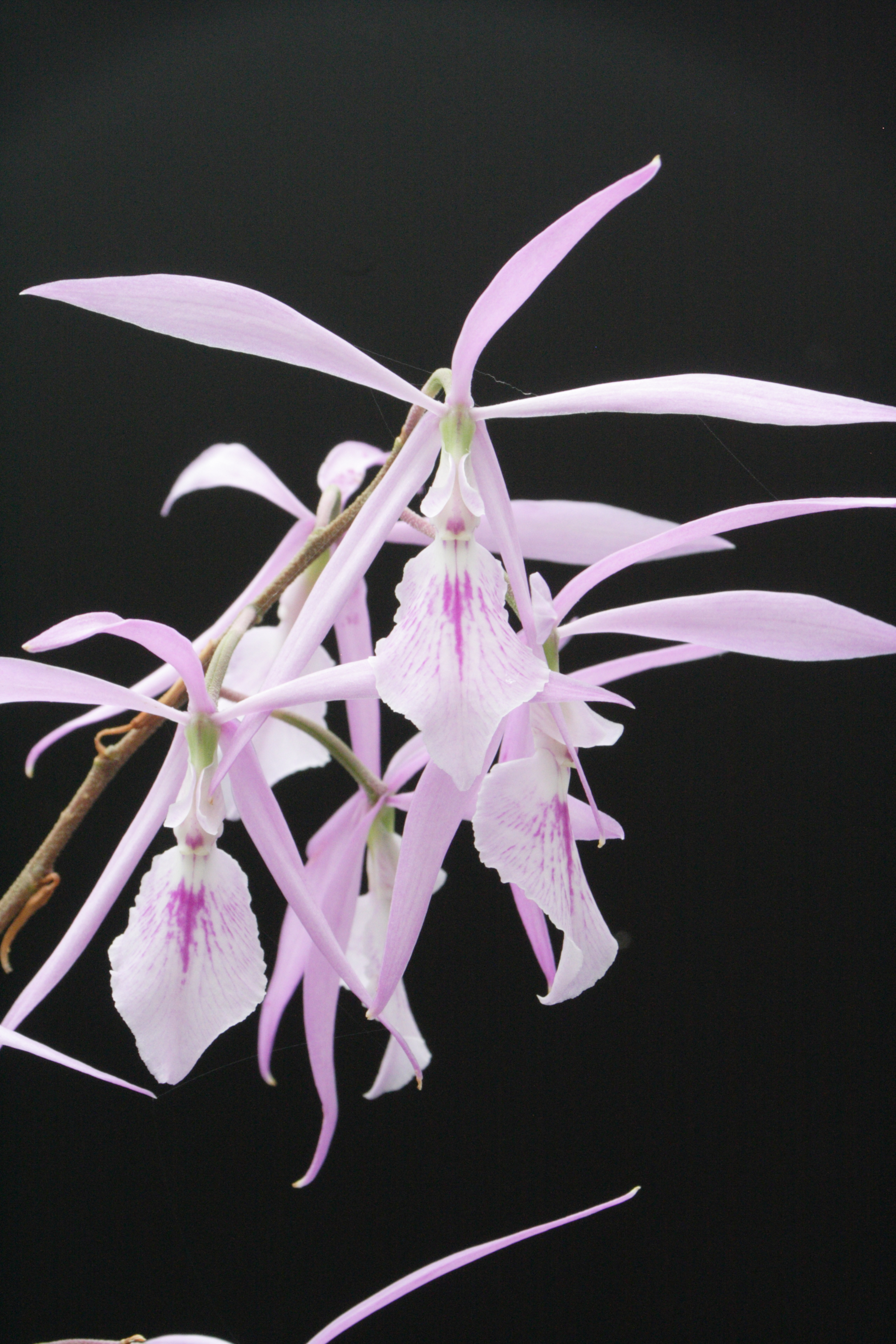 Encyclia adenocaula (c) J.-P. Le Pabic