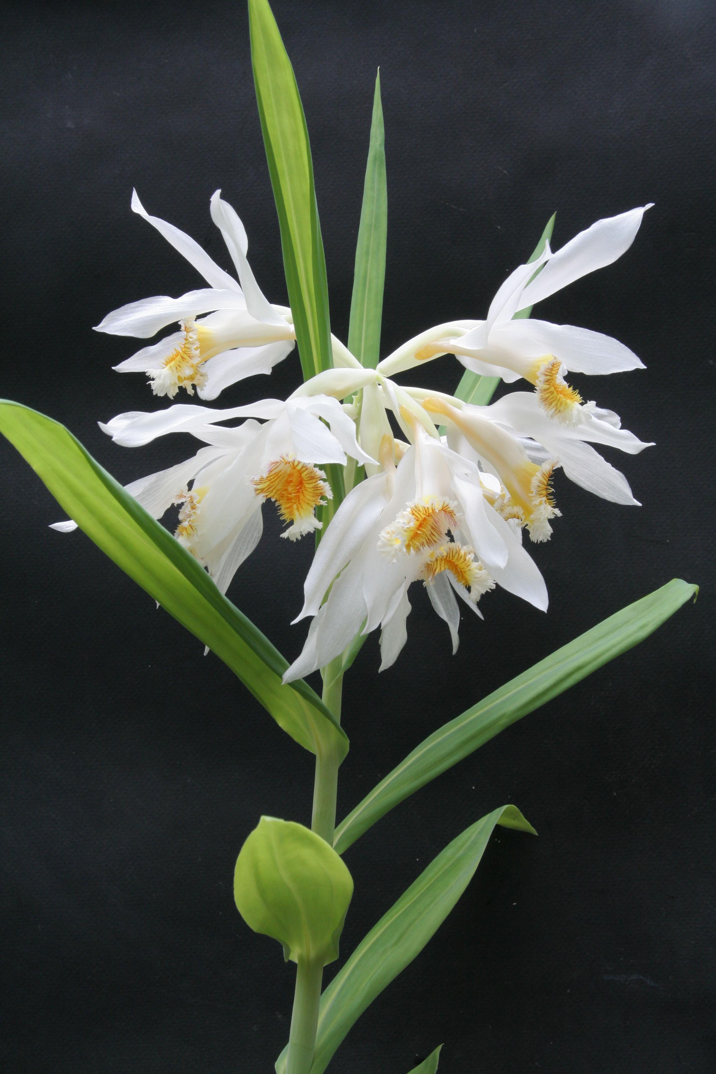 Thunia marshalliana (c) J.-P. Le Pabic