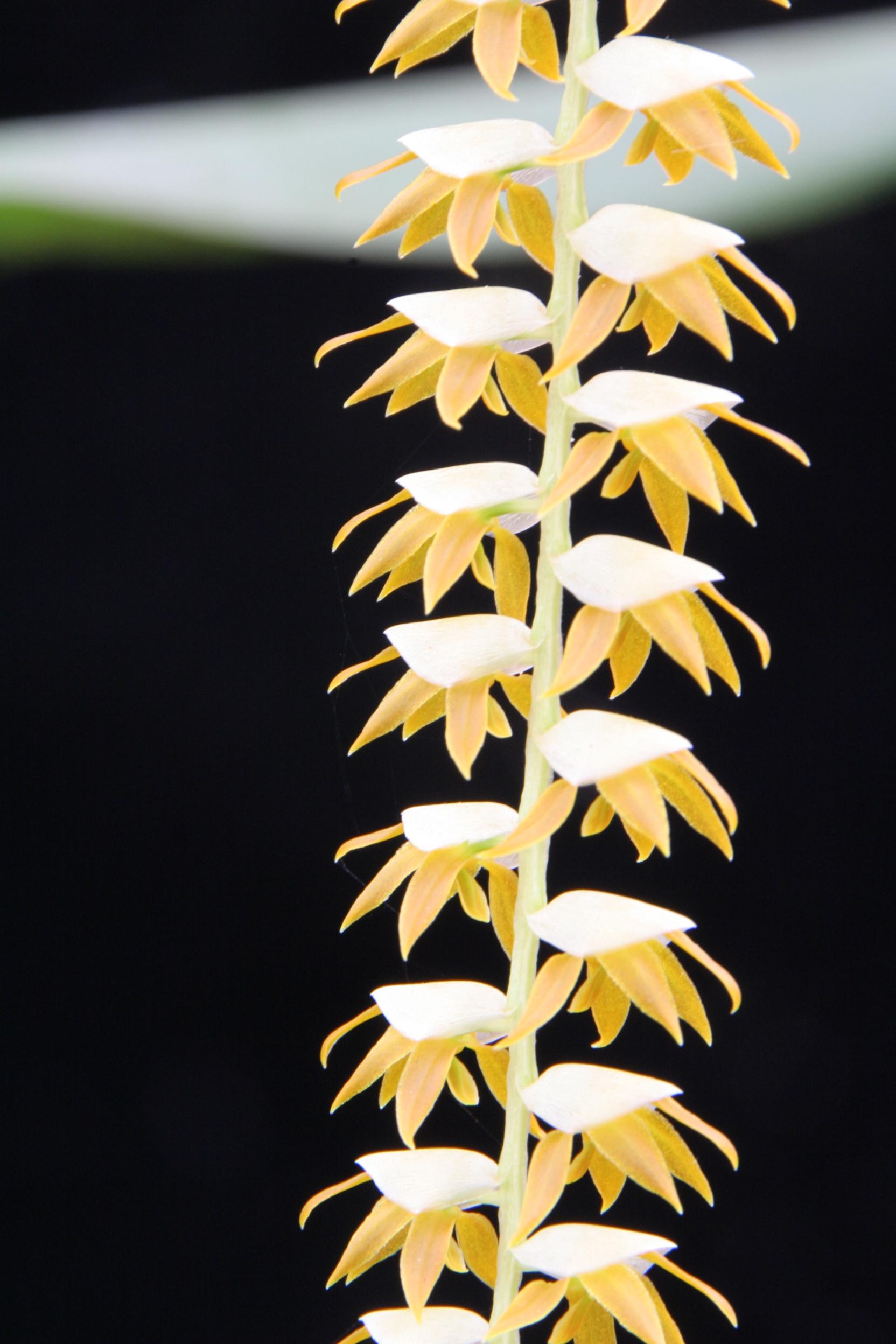 Dendrochilum magnum (c) J.-P. Le Pabic