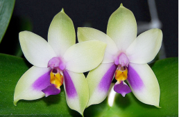Le genre Phalaenopsis