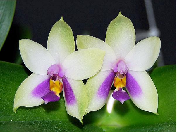 Monographie Phalaenopsis, comprendre et connaitre les espèces et la culture de ces orchidées