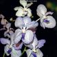 L'Orchidophile n°197 en intégralité
