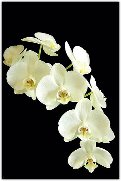 Magie d'Orchidées au Château de Vascoeuil, exposition d'orchidées 2015