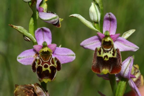 Fig. 6– « Ophrys tardif du Roubion ». La Taupie (Drôme, France). 11 juillet 2007 (Photo R. MARTIN).