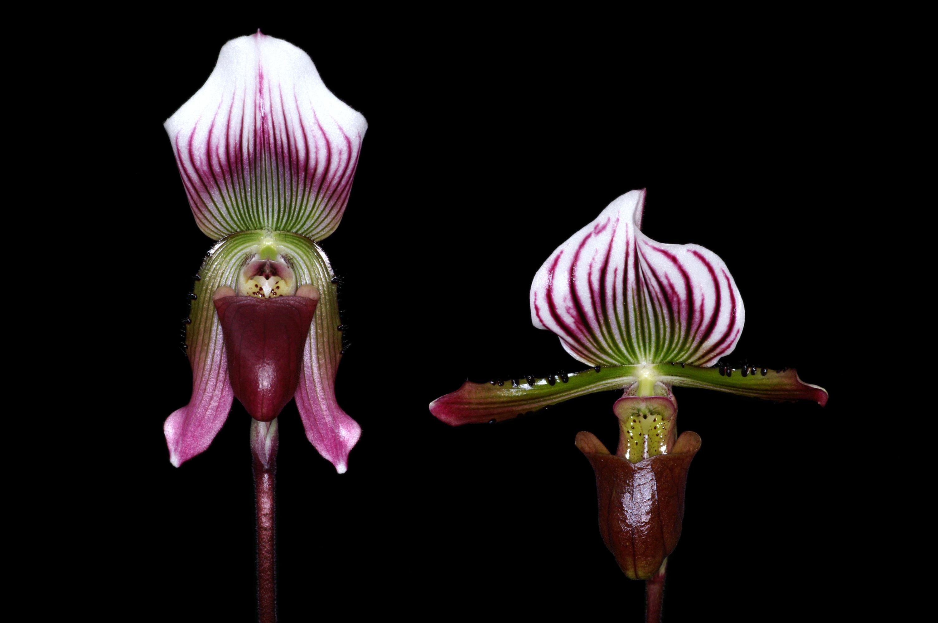 Comparaison des fleurs de Paph. callosum et de Paph. lawrenceanum, H. Perner.