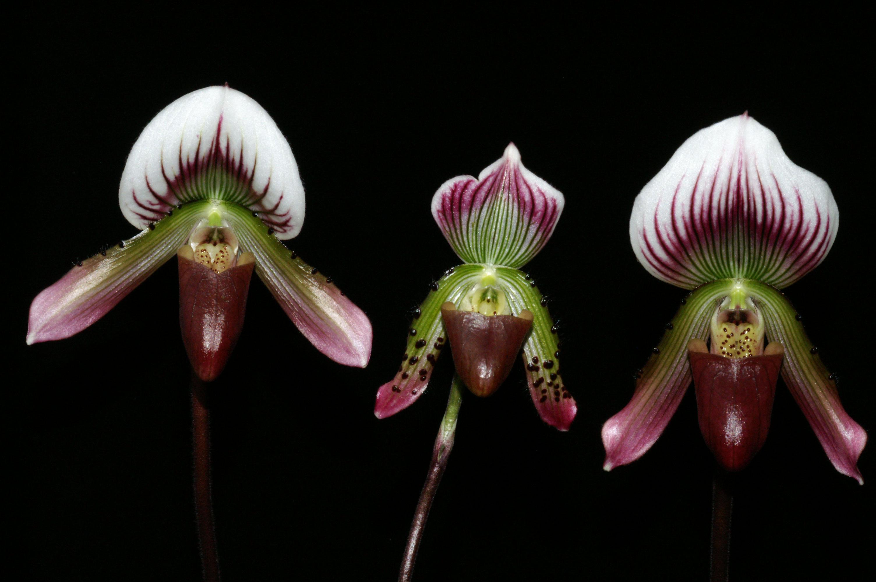 La position des verrucosités ainsi que la taille et la forme des fleurs de Paph. callosum ne sont pas des critères discriminants pour séparer les taxons en raison des nombreuses formes intermédiaires, H. Perner.