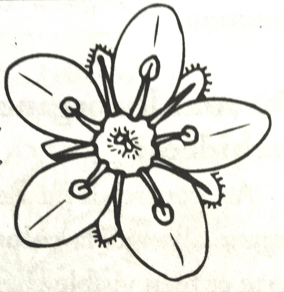 Fleur actinomorphe Saxifrage
