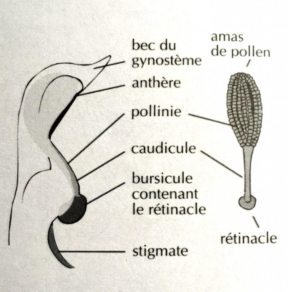 Gynostème et pollinie Ophrys Orchidée Schéma