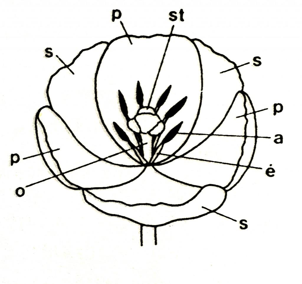 Organisation fleur tulipe