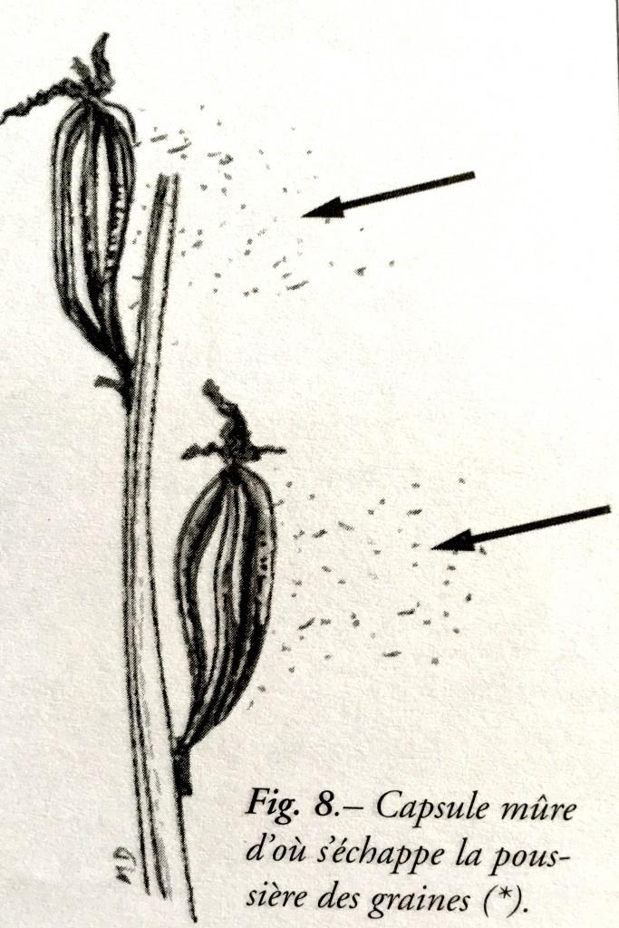 Schéma capsule orchidée