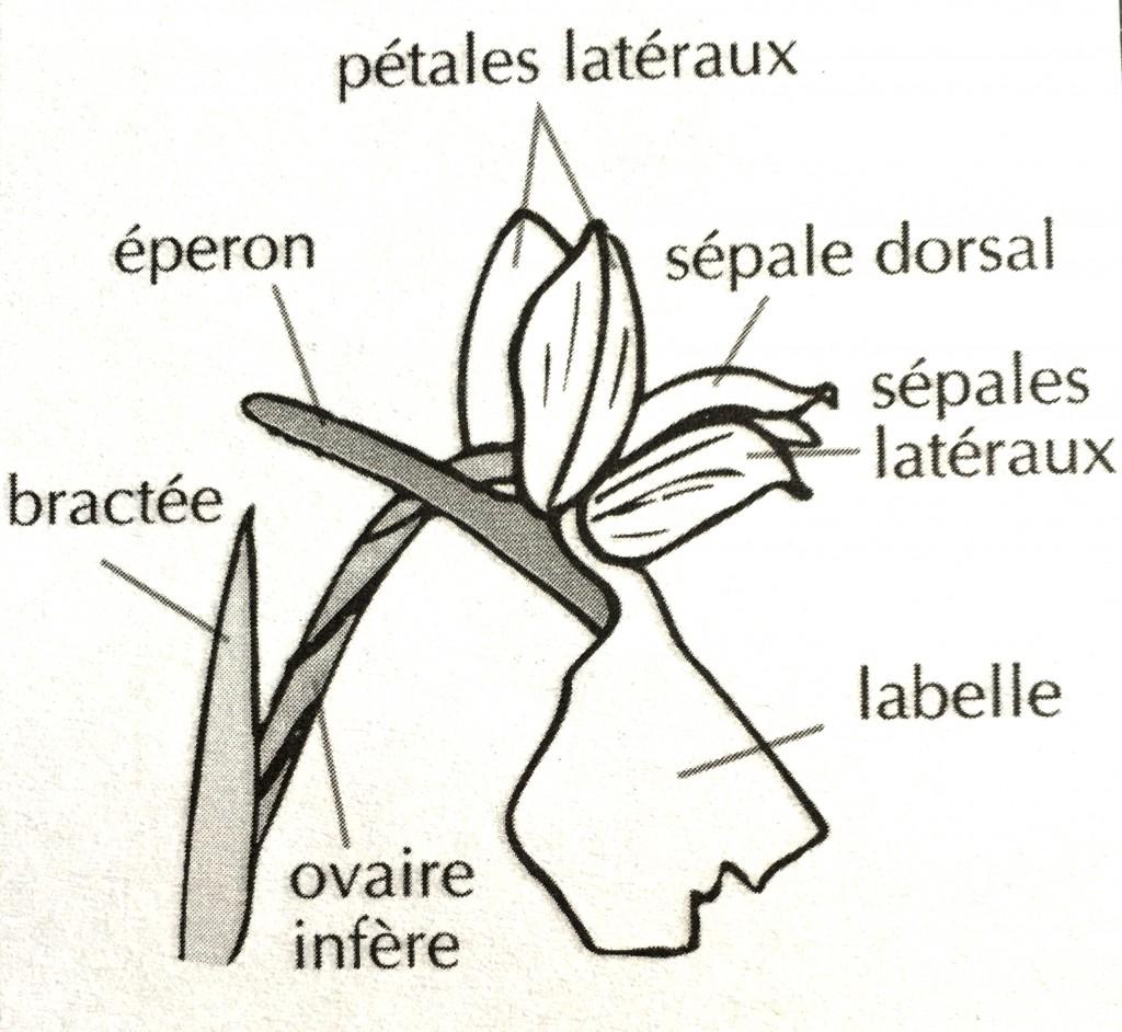 Fleur d'Orchis montrant l'éperon
