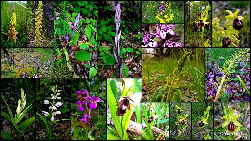 Saint Cybranet Sortie Orchidées Dordogne SFO Aquitaine association orchidées sauvages indigènes Dordogne Périgord Sortie Botanique