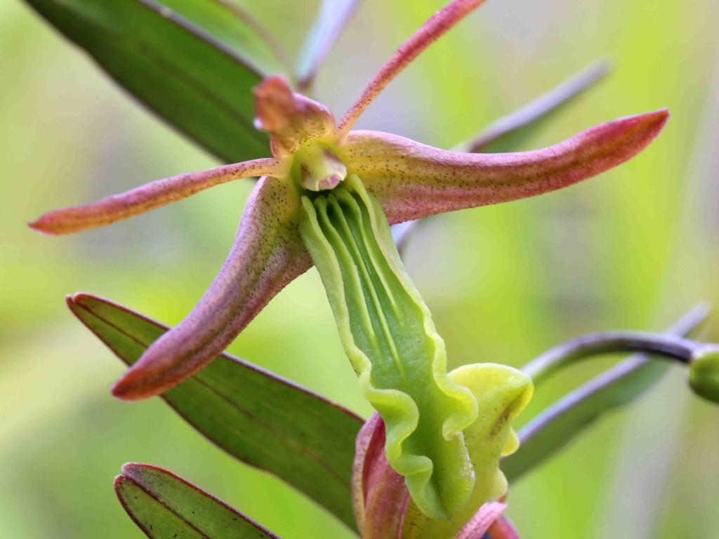 Dendrobium verruciferum