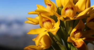 Des fleurs sur le Caillou : orchidées endémiques de Nouvelle-Calédonie