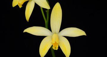 Deux nouvelles espèces décrites dans L'Orchidophile (septembre 2019)