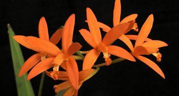 Deux nouveaux taxons décrits dans L'Orchidophile (juin 2020)