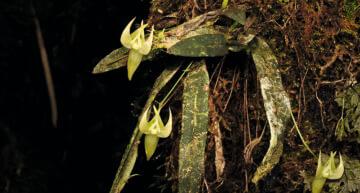 Nouvelles espèces d'orchidées à Madagascar