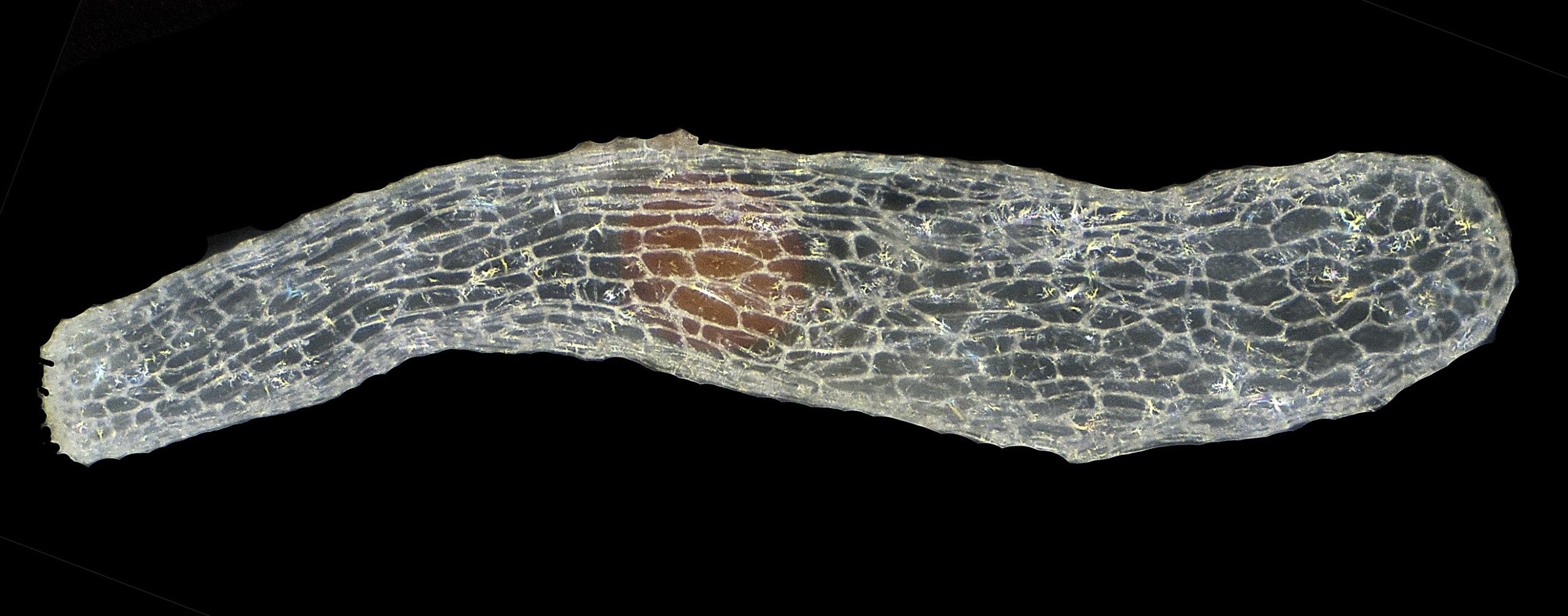 Limodorum abortivum 1,2 x 0,4 mm